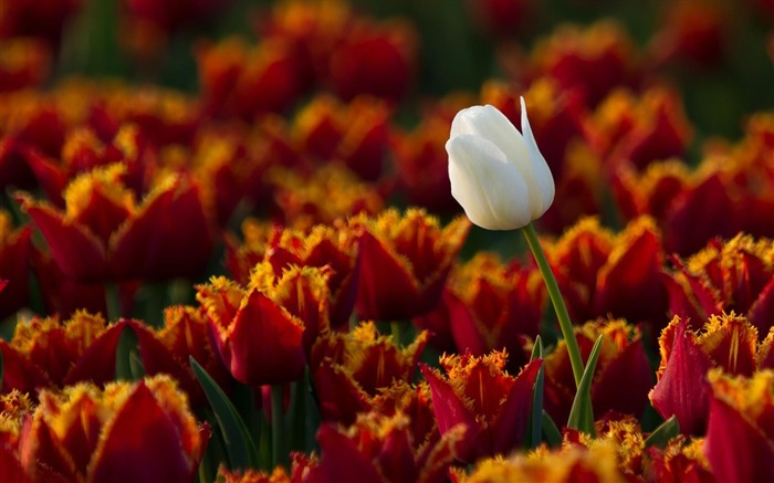 white tulip-Beautiful flowers wallpaper Views:4178 Date:12/28/2012 11:06:29 PM