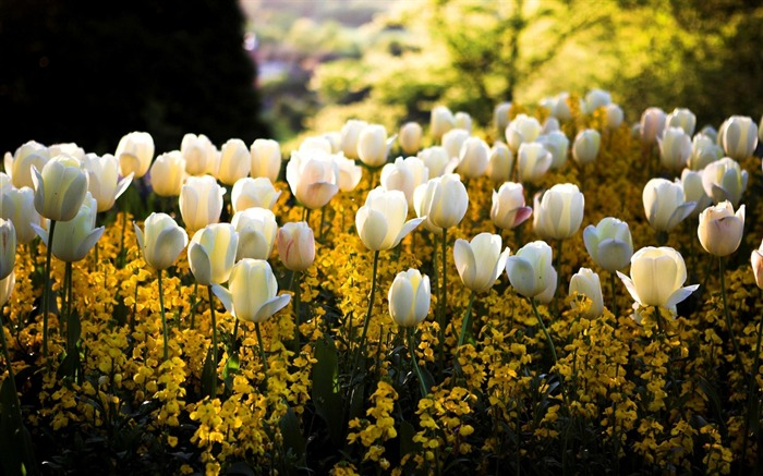 white yellow tulip-Beautiful flowers wallpaper Views:3963 Date:12/28/2012 11:06:54 PM