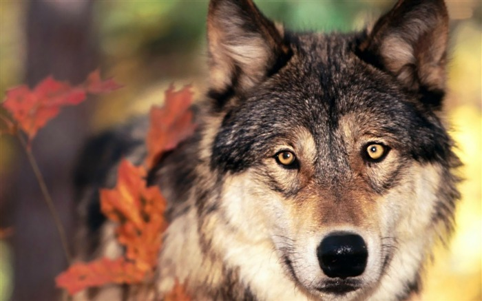 wolf-Animal Wizard photography wallpaper Views:2816