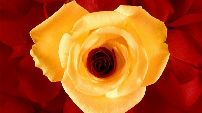 yellow rose-Beautiful flowers wallpaper Views:3761 Date:12/28/2012 11:08:16 PM