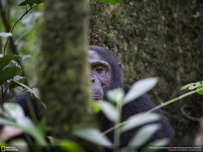 Chimp in Uganda-2012 National Geographic Photography Wallpaper Views:3979