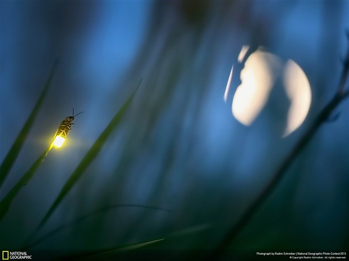 Firefly and Moon-2012 National Geographic Photography Wallpaper Views:6706