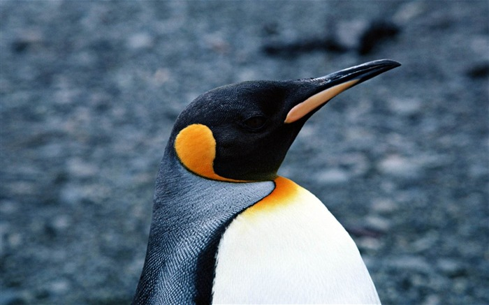 Happy Antarctic penguins HD Desktop Wallpapers Views:18268