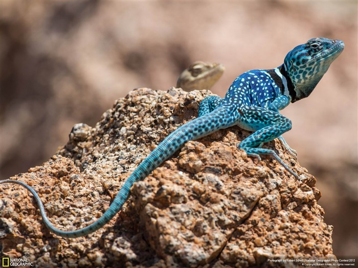 Lagarto Azul-2012 National Geographic Photography Wallpaper Views:4170