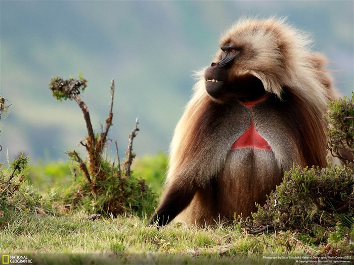 Male Gelada Baboon-2012 National Geographic Photography Wallpaper Views:4826