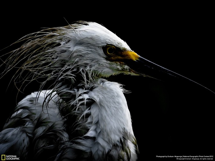 Portrait of a Snowy Egret-2012 National Geographic Photography Wallpaper Views:5239