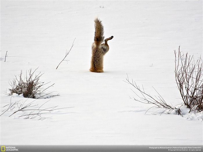 Red Fox catching mouse under snow-2012 National Geographic Photography Wallpaper Views:4342