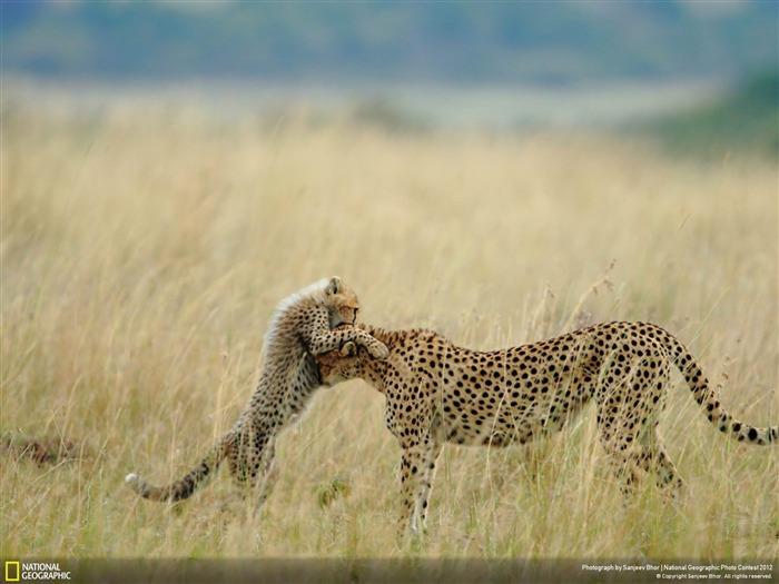 Tender Moment-2012 National Geographic Photography Wallpaper Views:3243