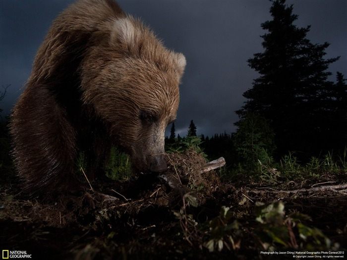 Ursus arctos horribilis-2012 National Geographic Photography Wallpaper Views:3171