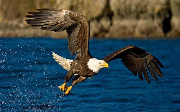 美国白头鹰-可爱的动物壁纸