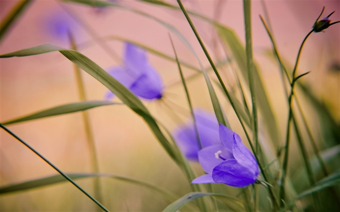 blue wild flowers-beautiful flowers Picture wallpaper Views:3332
