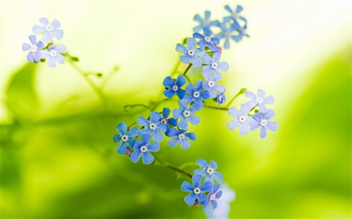 forget me not-beautiful flowers Picture wallpaper Views:3913