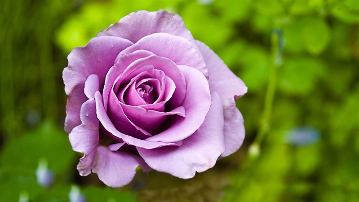 mauve rose-beautiful flowers Picture wallpaper Views:4369