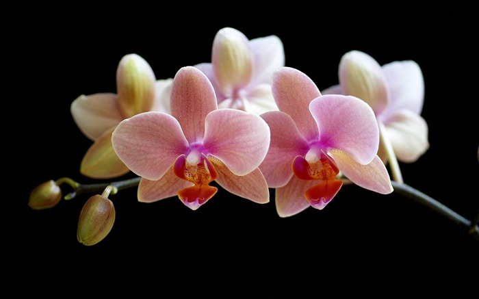 orchid-beautiful flowers Picture wallpaper Views:8992