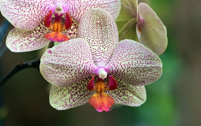 orchids flower-beautiful flowers Picture wallpaper Views:3299