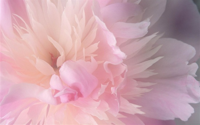 peony-beautiful flowers Picture wallpaper Views:4402