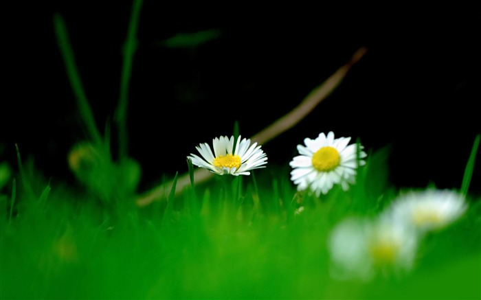 small daisies-beautiful flowers Picture wallpaper Views:3495
