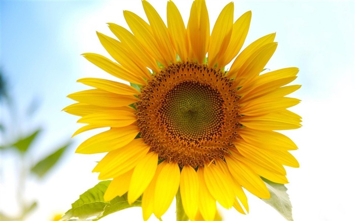 sunflower-beautiful flowers Picture wallpaper Views:9549 Date:1/6/2013 2:27:17 PM