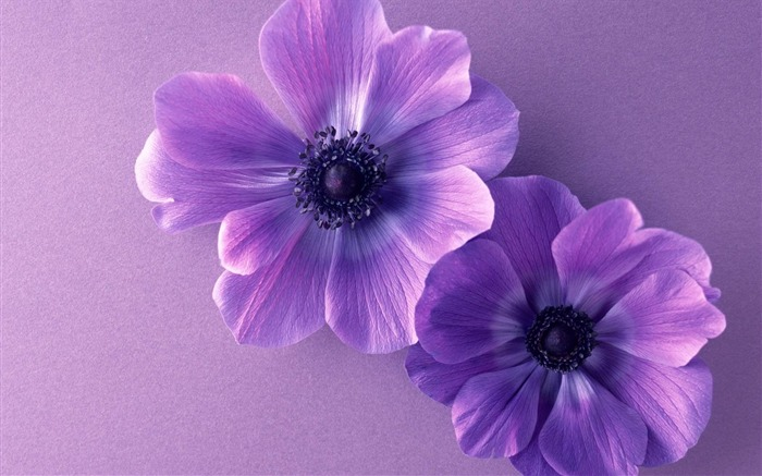 two violet flowers-beautiful flowers Picture wallpaper Views:3538