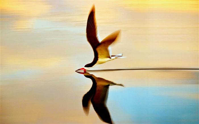 Bird On Water-Animal world photography wallpaper Views:6548 Date:2/15/2013 12:38:01 PM