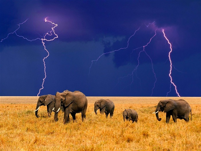Elephants in the field-Animal world photography wallpaper Views:4034 Date:2/15/2013 12:40:47 PM
