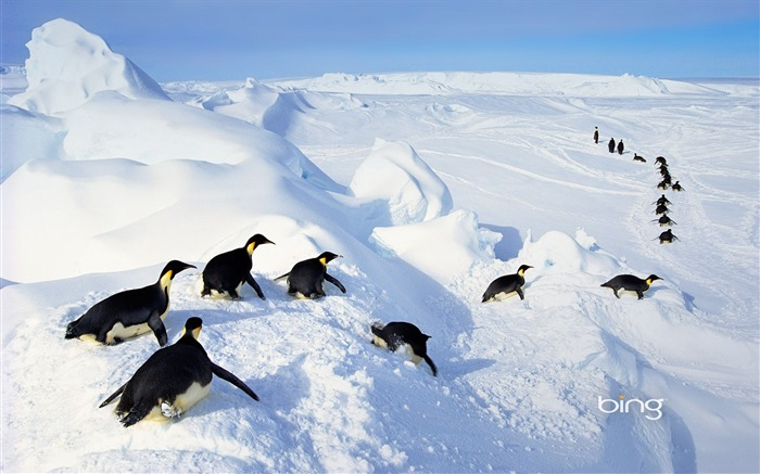 Flocks of penguins-2013 Bing widescreen wallpaper Views:6184