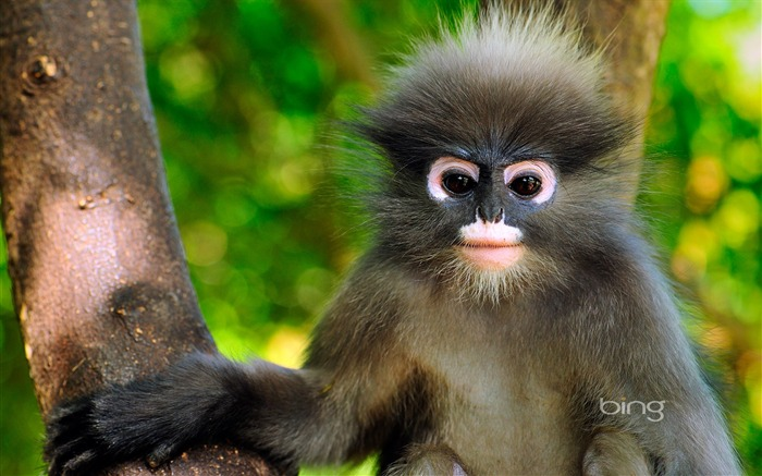Gray snub nosed monkey-2013 Bing widescreen wallpaper Views:5121