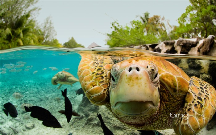 Huge sea turtles-2013 Bing widescreen wallpaper Views:3988