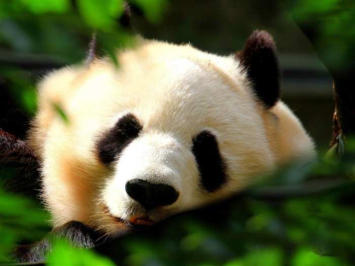 Sleeping Pandas-Animal world photography wallpaper Views:5482 Date:2/15/2013 12:50:02 PM