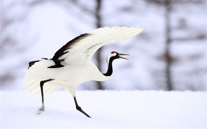 White Crane in the Snow-Animal world photography wallpaper Views:4899 Date:2/15/2013 12:54:54 PM