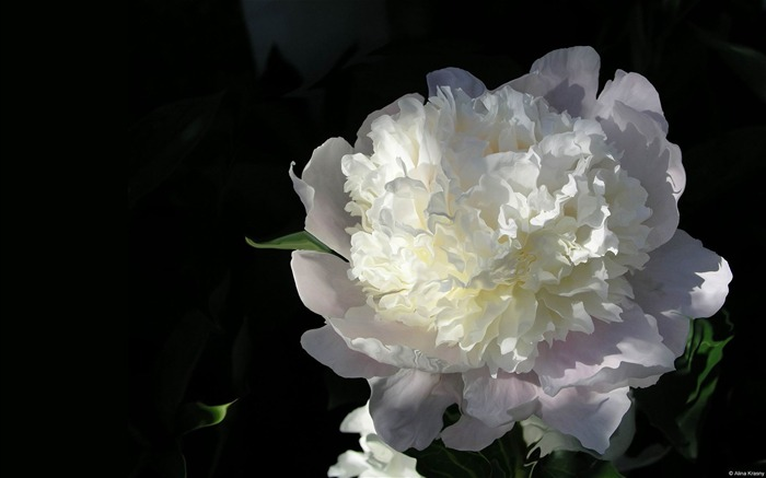 White Peony-Microsoft Windows Desktop Wallpaper Views:8975 Date:2/4/2013 1:15:54 AM