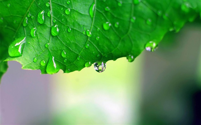 rain dripping from leaf-Quality photography wallpapers Views:7070 Date:2/2/2013 11:34:53 PM