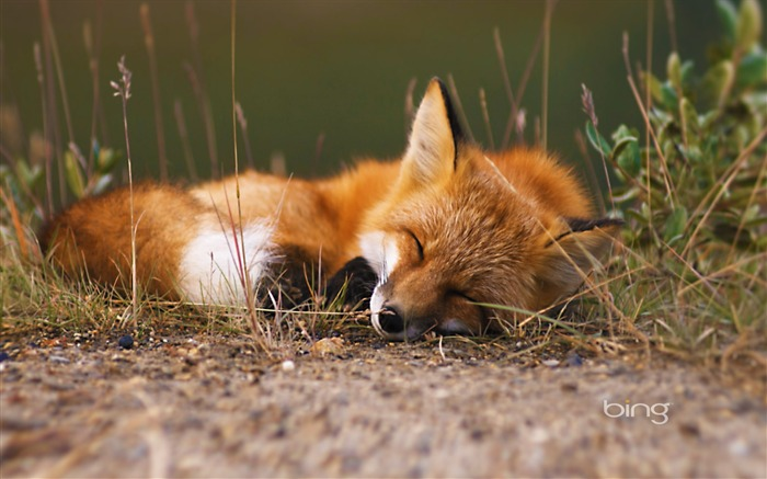 sleeping fox-2013 Bing widescreen wallpaper Views:16182