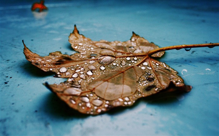 wet maple leaf-Quality photography wallpaper Views:3862 Date:2/2/2013 11:51:39 PM