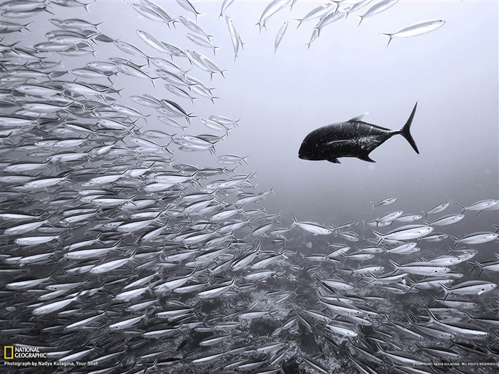 Black Trevally and Sardines-National Geographic wallpaper Views:4708