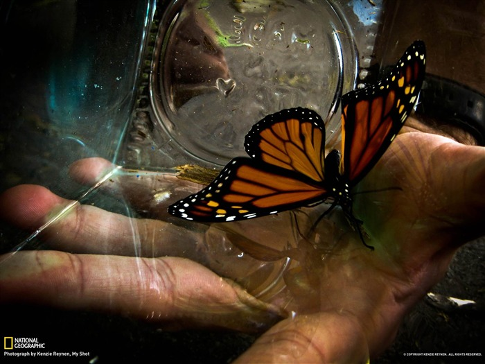 Monarch Butterfly-National Geographic wallpaper Views:4028