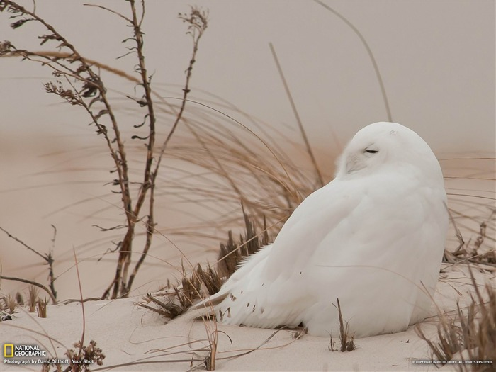 Snowy Owl Long Island-National Geographic wallpaper Views:5674