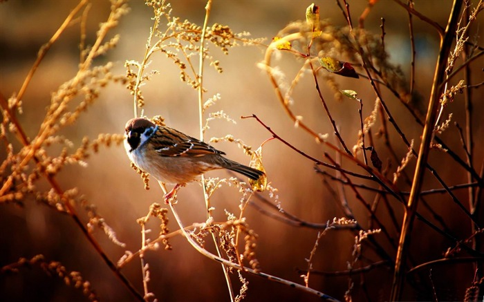 Sparrow-Animal World HD wallpaper Views:5025 Date:3/3/2013 10:07:56 PM