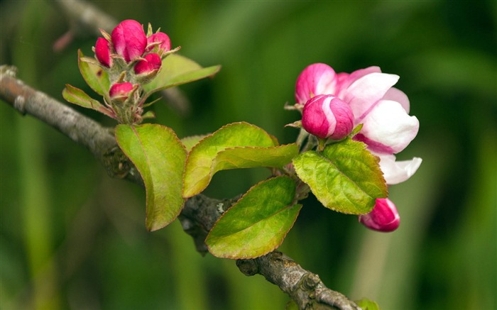 Spring buds macro photography HD wallpaper Views:6635