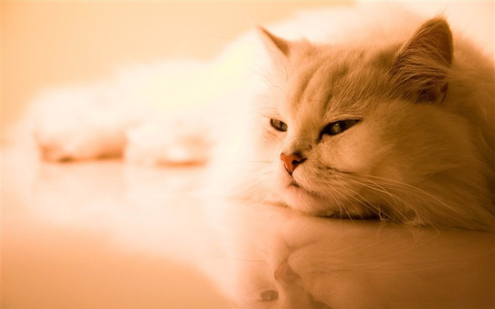 exotic white cat-Animal World HD wallpaper Views:6043 Date:3/3/2013 10:12:50 PM