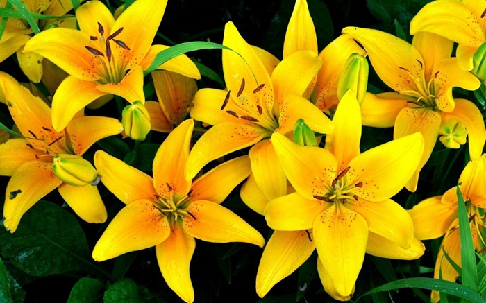 lilies yellow flowers-Flower photography HD wallpaper Views:5444