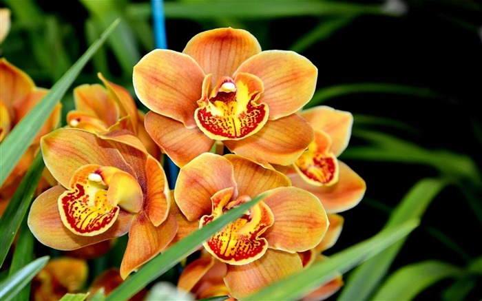 orchid flower exotic-Flower photography HD wallpaper Views:7210