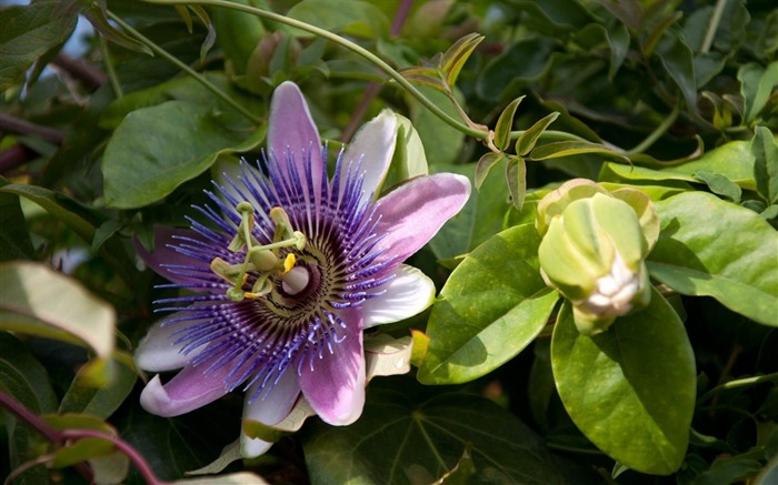 passion flower flowering-Flower photography HD wallpaper Views:4038
