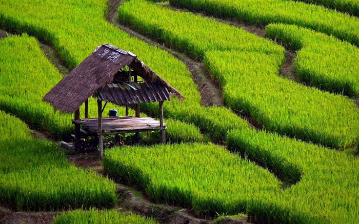 rice field-Natural landscape widescreen Wallpaper Views:8916 Date:3/24/2013 8:01:21 PM