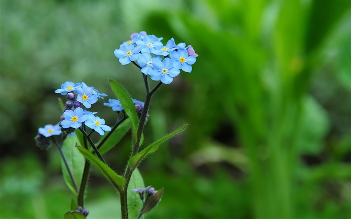 Blue forget me-flower photography wallpaper Views:2225