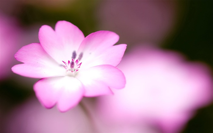 Pink flowers macro-flower photography wallpaper Views:3509