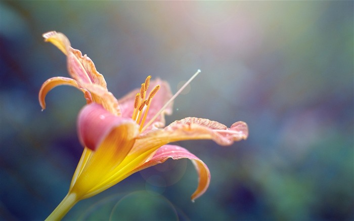 Pink lily Macro-flower photography wallpaper Views:3537