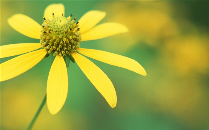 Yellow flowers-flower photography wallpaper Views:3194