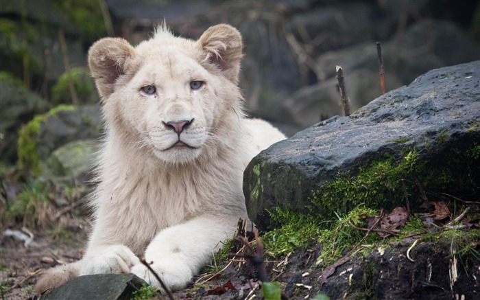 albino lion white eyes-wild animals widescreen wallpaper Views:7967 Date:4/21/2013 11:27:50 PM