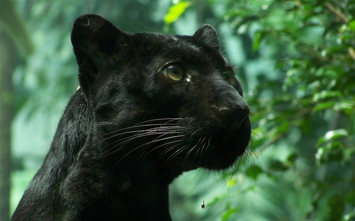 black panther wildcat foliage-wild animals widescreen wallpaper Views:15579 Date:4/21/2013 11:29:09 PM